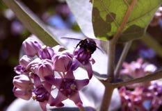 Abeja en una flor exótica púrpura Fotos de archivo libres de regalías