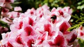 Abeja en una flor floreciente Foto de archivo