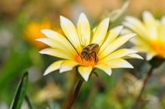Abeja en una flor hermosa Imagenes de archivo