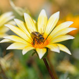 Abeja en una flor hermosa Fotografía de archivo libre de regalías