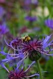 Abeja en una flor hermosa Imagen de archivo libre de regalías