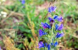 Abeja en una flor hermosa del prado Fotos de archivo