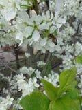 Abeja en una flor, jardín floreciente Foto de archivo libre de regalías