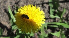 Abeja en una flor 4K de la maravilla metrajes