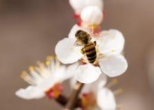 Abeja en una flor en la naturaleza Macro Imagen de archivo