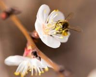 Abeja en una flor en la naturaleza Macro Fotografía de archivo libre de regalías