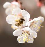 Abeja en una flor en la naturaleza Macro Imágenes de archivo libres de regalías