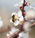 Abeja en una flor en la naturaleza Macro Imagenes de archivo