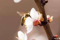 Abeja en una flor en la naturaleza Macro Fotos de archivo libres de regalías