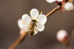 Abeja en una flor en la naturaleza Macro Imagen de archivo libre de regalías