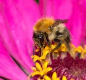 Abeja en una flor Macro Imagenes de archivo
