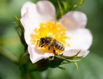 Abeja en una flor Macro Foto de archivo libre de regalías
