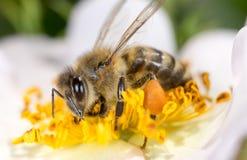 Abeja en una flor Macro Fotografía de archivo libre de regalías