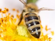 Abeja en una flor Macro Fotografía de archivo