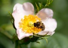 Abeja en una flor Macro Imagen de archivo libre de regalías