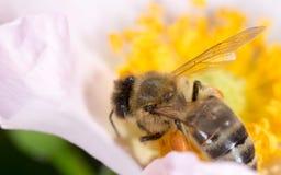 Abeja en una flor Macro Imagen de archivo