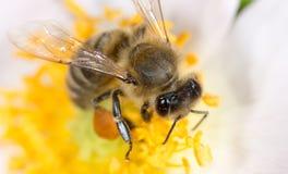 Abeja en una flor Macro Fotos de archivo libres de regalías