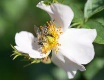 Abeja en una flor Macro Fotos de archivo