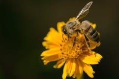 Abeja en una flor, macro, detalle de la miel Imágenes de archivo libres de regalías