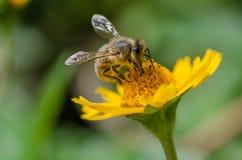 Abeja en una flor, macro, detalle de la miel Imagen de archivo