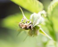 Abeja en una flor en naturaleza Imagen de archivo libre de regalías