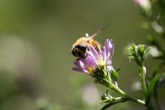 Abeja en una flor en naturaleza Imagenes de archivo