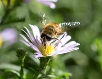 Abeja en una flor en naturaleza Foto de archivo