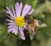 Abeja en una flor en naturaleza Imágenes de archivo libres de regalías