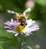 Abeja en una flor en naturaleza Fotos de archivo