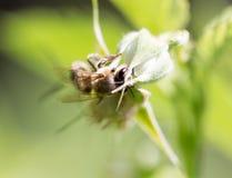 Abeja en una flor en naturaleza Fotografía de archivo libre de regalías
