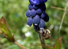 Abeja en una flor púrpura Fotografía de archivo libre de regalías