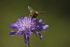 Abeja en una flor púrpura Fotos de archivo libres de regalías