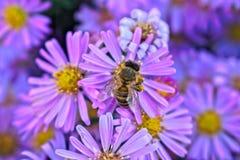 Abeja en una flor púrpura Imagen de archivo libre de regalías