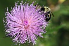 Abeja en una flor púrpura Imagen de archivo