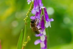 Abeja en una flor (púrpura) de la lila Macro de la abeja de la miel (Apis) en f Fotografía de archivo libre de regalías