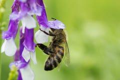 Abeja en una flor (púrpura) de la lila Macro de la abeja de la miel en la flor Imagen de archivo libre de regalías