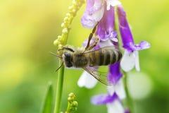 Abeja en una flor (púrpura) de la lila Macro de la abeja de la miel en la flor Foto de archivo libre de regalías