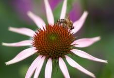 Abeja en una flor púrpura del cono del purpurea del Echinacea en un jardín en verano Fotos de archivo