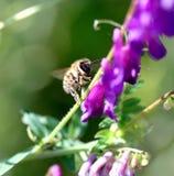 abeja en una flor púrpura en un sol de la mañana Imagen de archivo libre de regalías