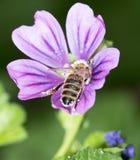Abeja en una flor púrpura Macro Imagen de archivo libre de regalías