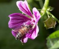 Abeja en una flor púrpura Macro Fotos de archivo