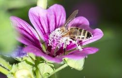 Abeja en una flor púrpura Macro Foto de archivo