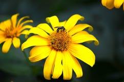 Abeja en una flor que recoge el polen Foto de archivo libre de regalías