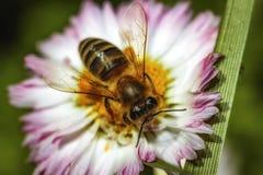 Abeja en una flor que recoge el polen Imagen de archivo