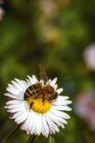 Abeja en una flor que recoge el polen Fotos de archivo libres de regalías