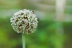 Abeja en una flor redonda grande del ajo Fotografía de archivo