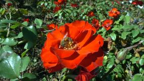 Abeja en una flor roja metrajes