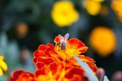 Abeja en una flor roja Imagen de archivo libre de regalías