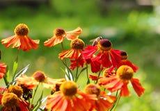 Abeja en una flor roja Fotografía de archivo libre de regalías