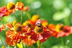 Abeja en una flor roja Fotos de archivo libres de regalías